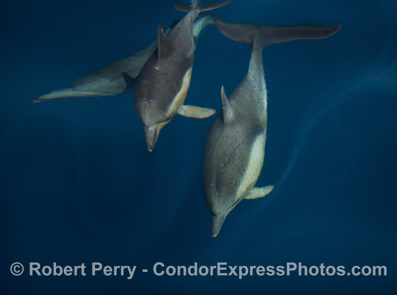 A trio of dolphins.  Notice the differences in their beaks and mouths.