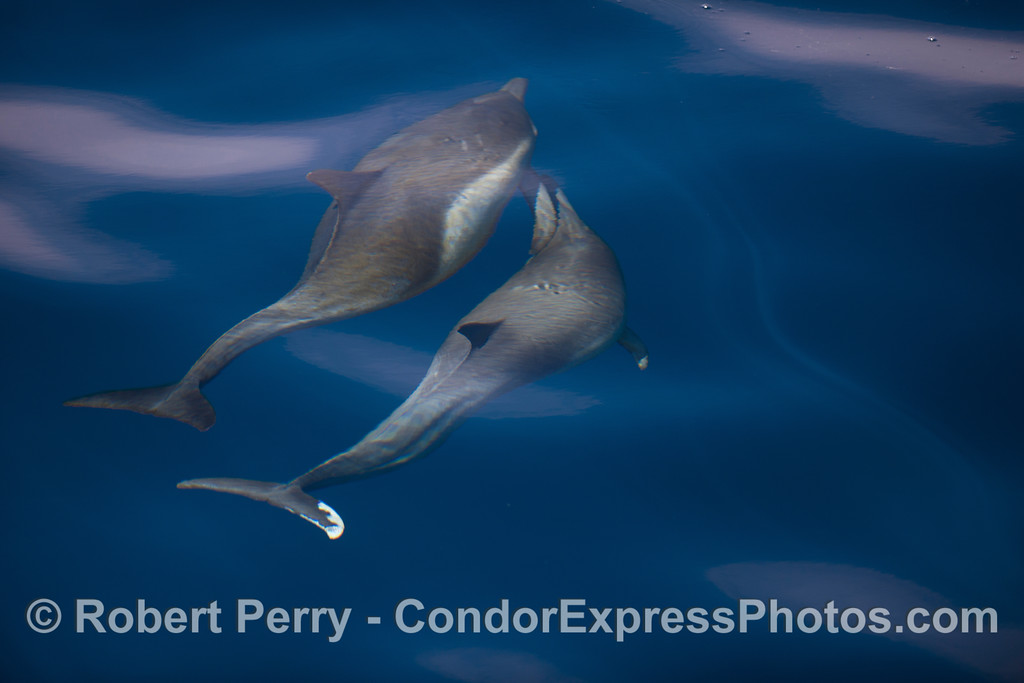 The dolphin on the right appears to be nipping at the pectoral fin of the other.