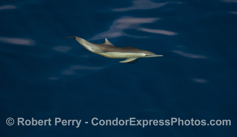 Common Dolphin.