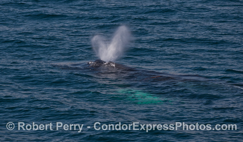 The long, white pectoral fin of this spouting Humpback can be seen under the water.