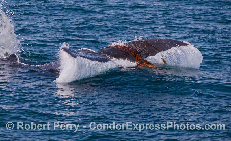 Humpback Whales have a strong affinity for Giant Kelp (<em>Macrocystis pyrifera</em>).  Here a Humpback is seen playing with some drifting kelp on the surface and slamming its tail down in the mass.