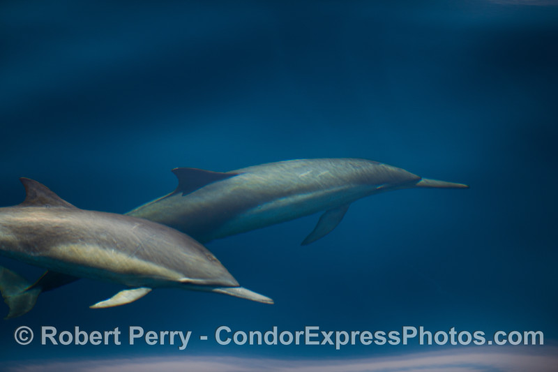 Two Common Dolphins in blue water.