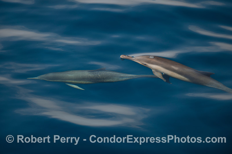 Common Dolphins in blue water...one up, one down.