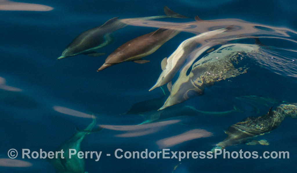 Image 3 of 3:  a gang of dolphins with one upside down.
