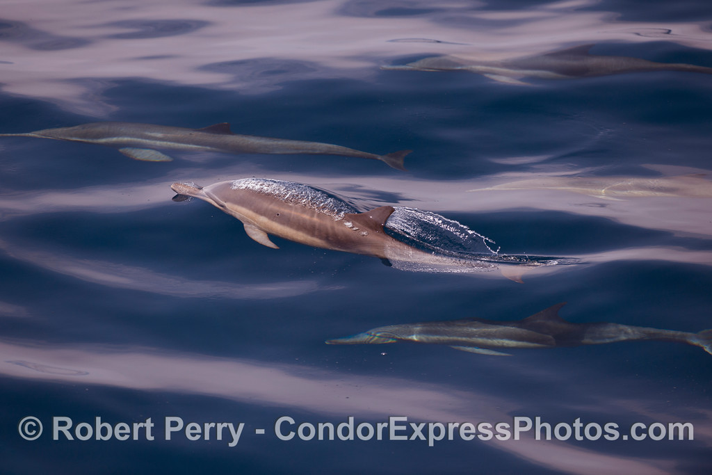 Three Common Dolphins.