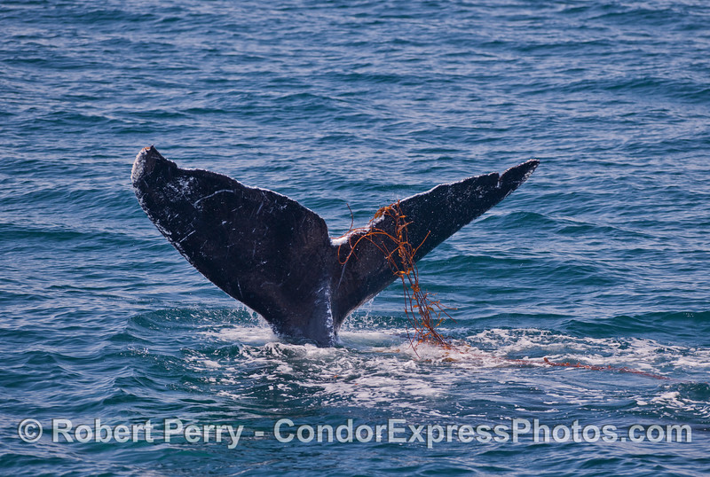 Humpback Whales have a strong affinity for Giant Kelp (<em>Macrocystis pyrifera</em>).  In this sequence of images, a Humpback is seen playing with some drifting kelp on the surface.
