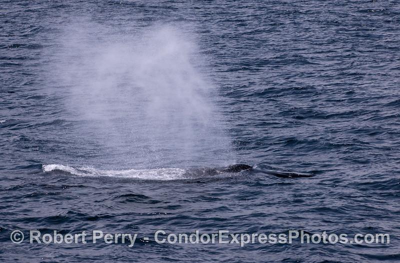 A Humpback Whale (<em>Megaptera novaeangliae</em>) rain shower.