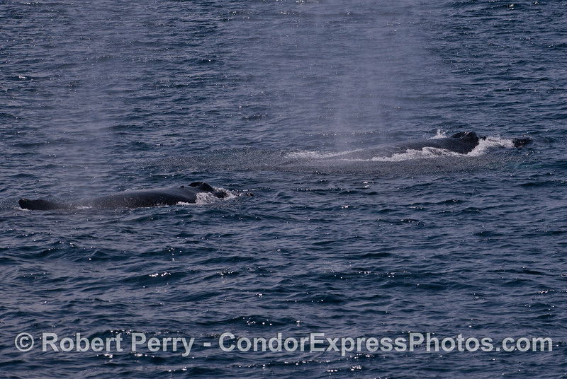 Two Humpback Whales (<em>Megaptera novaeangliae</em>) traveling west together in the Santa Barbara Channel.