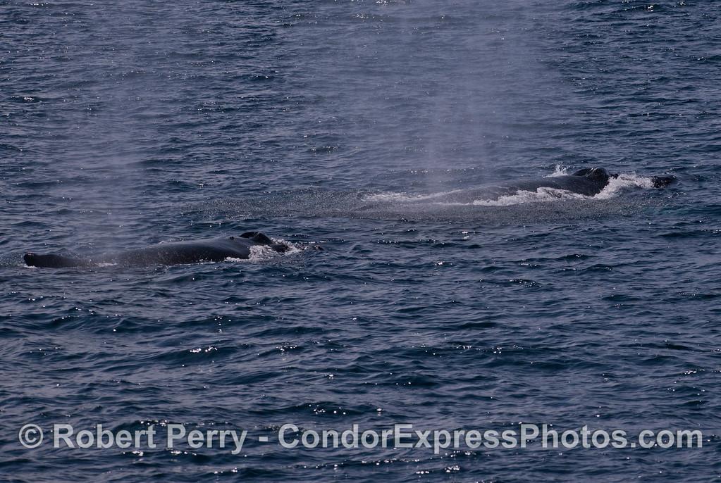 Two Humpback Whales (<em>Megaptera novaeangliae</em>) traveling west together in the Santa Barbara Channel.