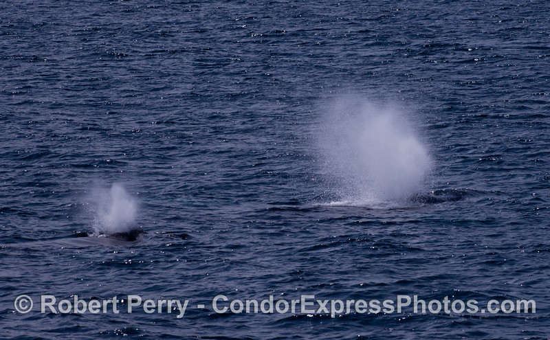Two simultaneous blasts from Humpback Whales (<em>Megaptera novaeangliae</em>).