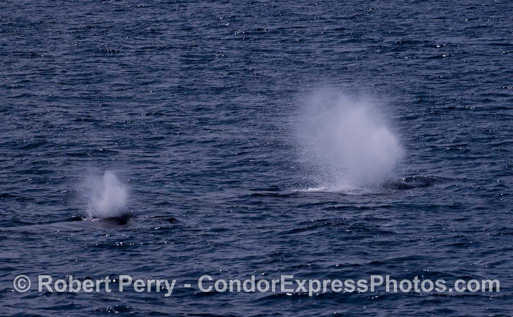 Two simultaneous blasts from Humpback Whales (<em>Megaptera novaeangliae</em>).