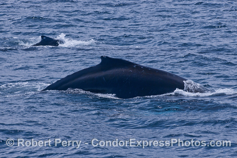 "Two ""humps"" and dorsal fins of Humpback Whales (<em>Megaptera novaeangliae</em>)."
