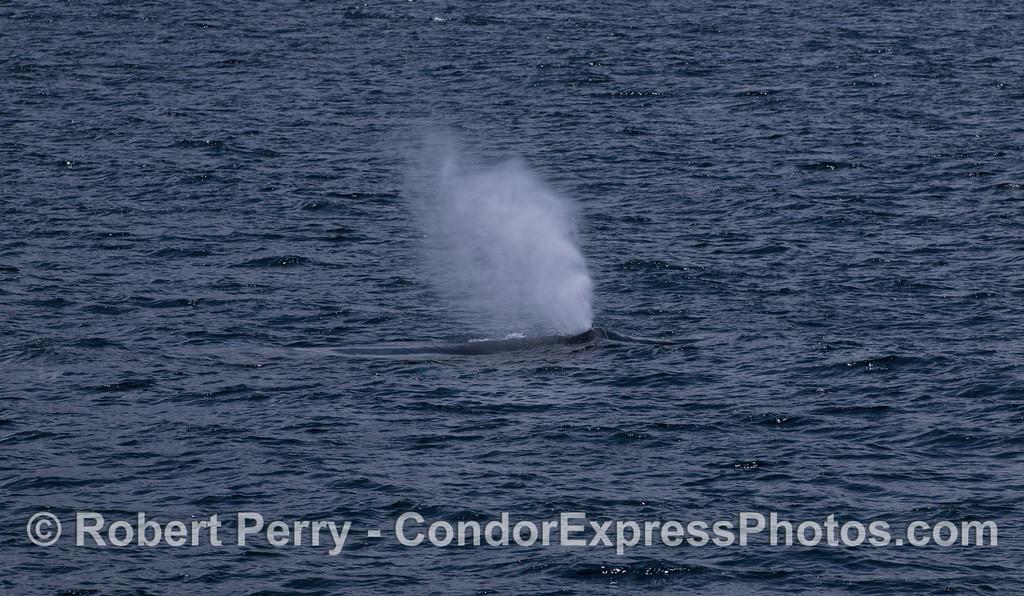 Humpback Whale (<em>Megaptera novaeangliae</em>) spout.