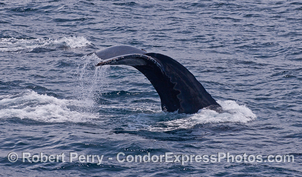 The mighty tail flukes of a Humpback Whale (<em>Megaptera novaeangliae</em>).
