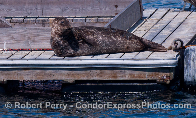 A Pacific Harbor Seal (<em>Phoca vitulina</em>) rests on the bait barge in Santa Barbara Harbor.