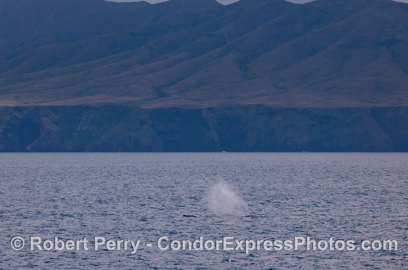 Humpback Whale (<em>Megaptera novaeangliae</em>) spout with Santa Cruz Island in the background.