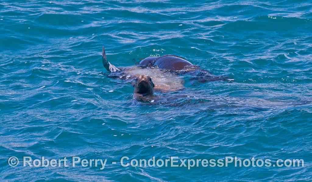 A small raft of California Sea Lions (<em>Zalophus californianus</em>).