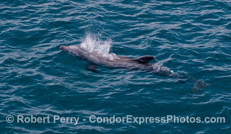 Bottlenose Dolphin (<em>Tursiops truncatus</em>) in clear, blue water.
