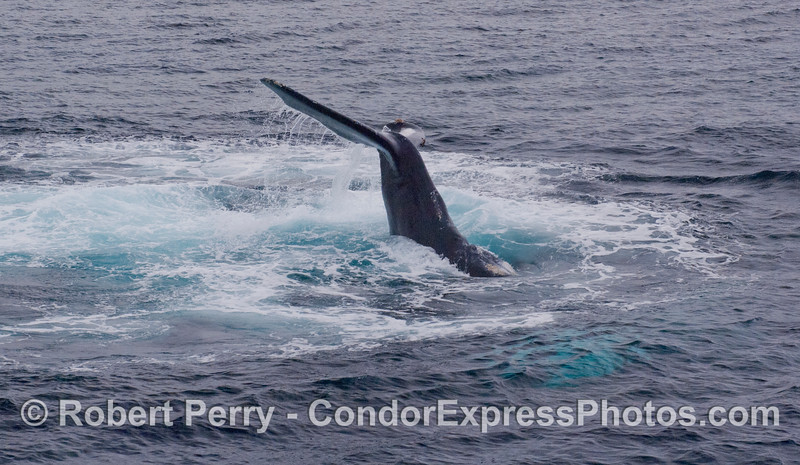Image 2 of the sequence:  A Humpback Whale throws its tail.  In these photographs the whale is upside down...you are looking at it's ventral, or belly side...so the tail is slammed down on the top, or back (dorsal) side.  Here the tail is being lifted higher into the air.