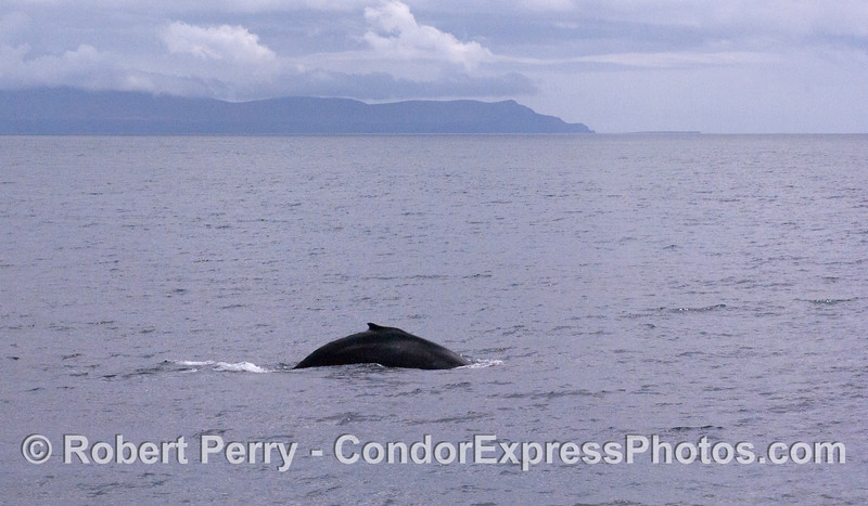 Hump and dorsal fin of a Humpback Whale in the Santa Barbara Channel with the west end of Santa Cruz Island in the background.