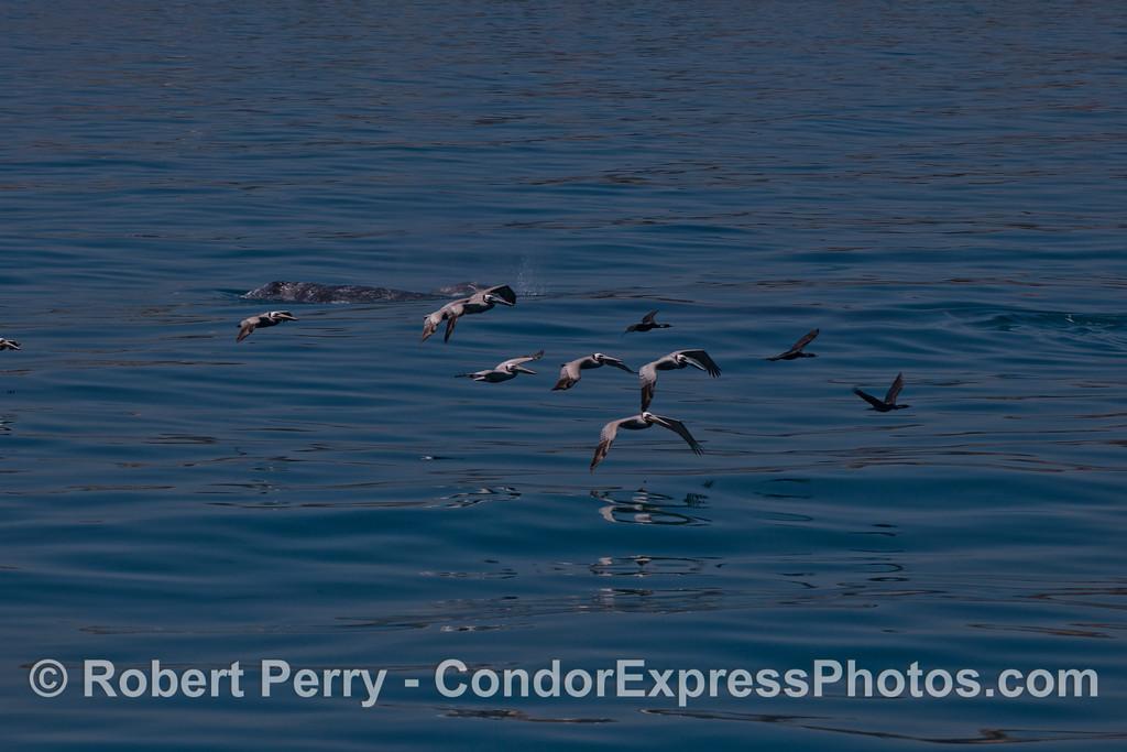 Eschrichtius robustus & Pelecanus & Phalocrocorax 2012 04-15 SB Channel-d-380