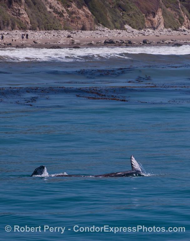 Eschrichtius robustus calf rolling near beach 2012 04-15 SB Channel-d-126