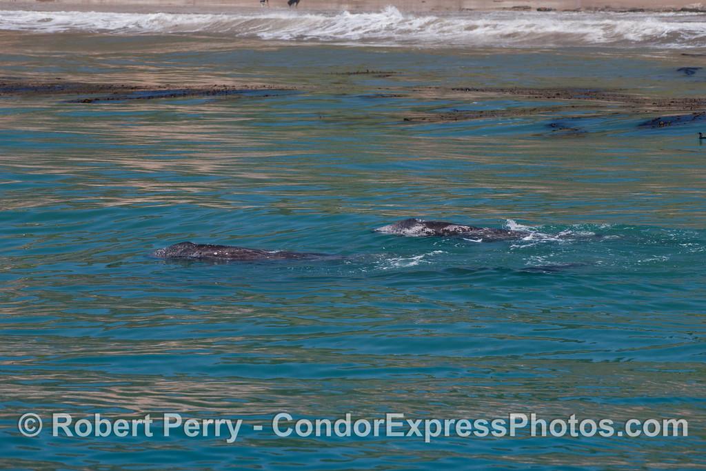Eschrichtius robustus cow & calf near beach 2012 04-15 SB Channel-d-093