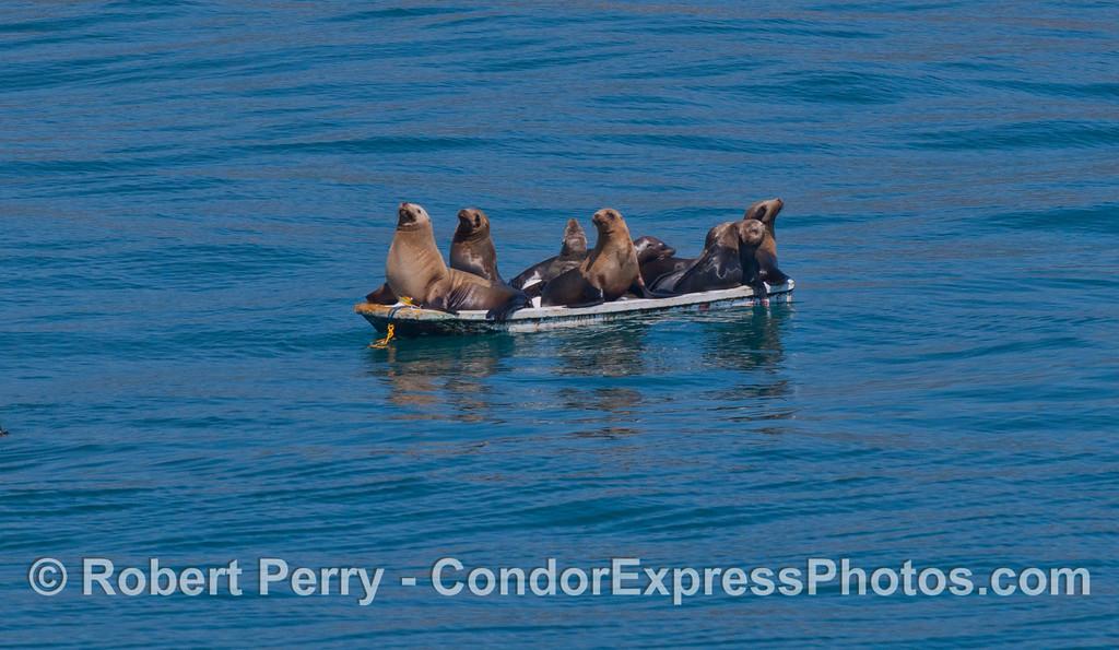 Zalophus mob on small boat 2012 04-15 SB Channel-008