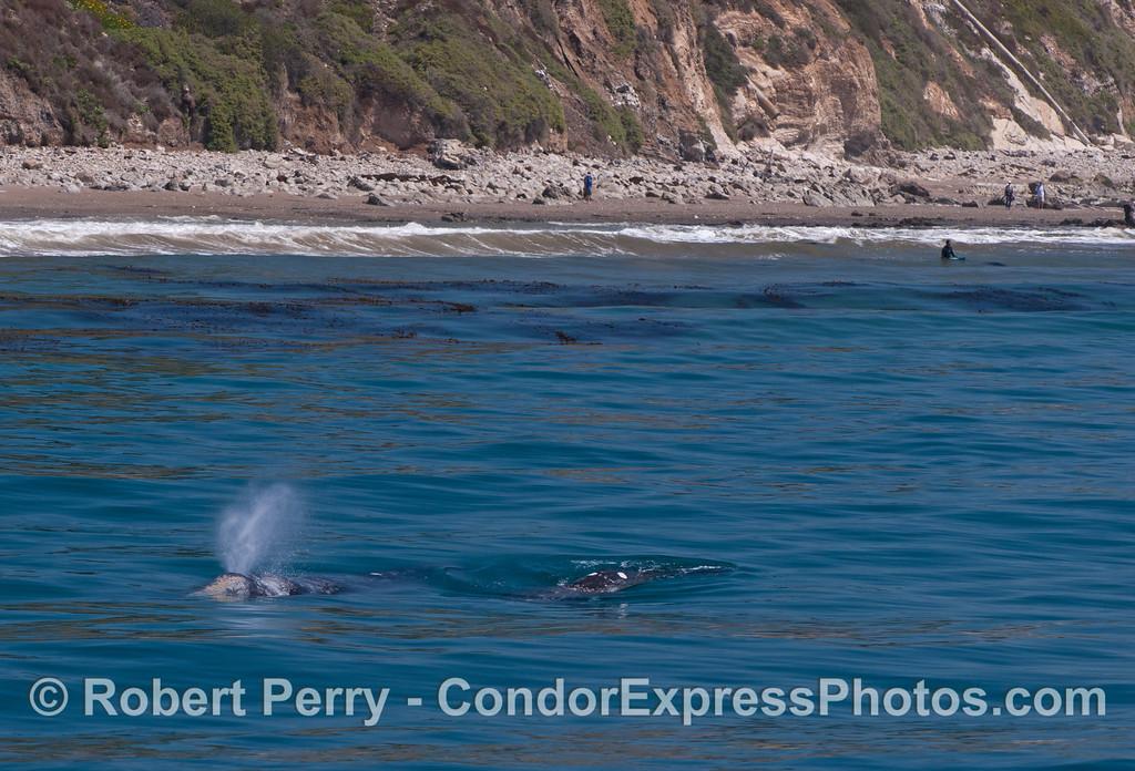 Eschrichtius robustus cow & calf near beach 2012 04-15 SB Channel-d-294