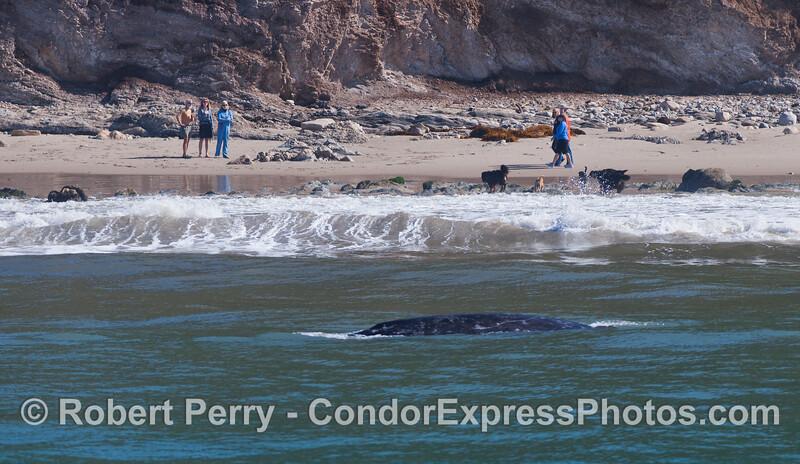 Eschrichtius robustus near beach with people 2012 04-15 SB Channel-088