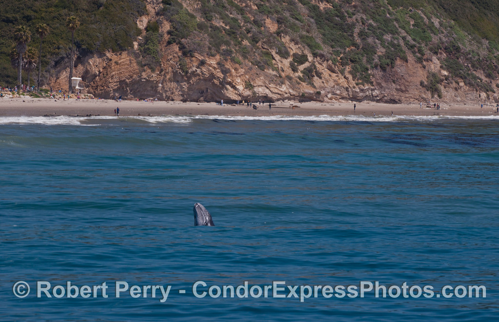 Eschrichtius robustus calf spyhop near beach WIDE 2012 04-15 SB Channel-d-326