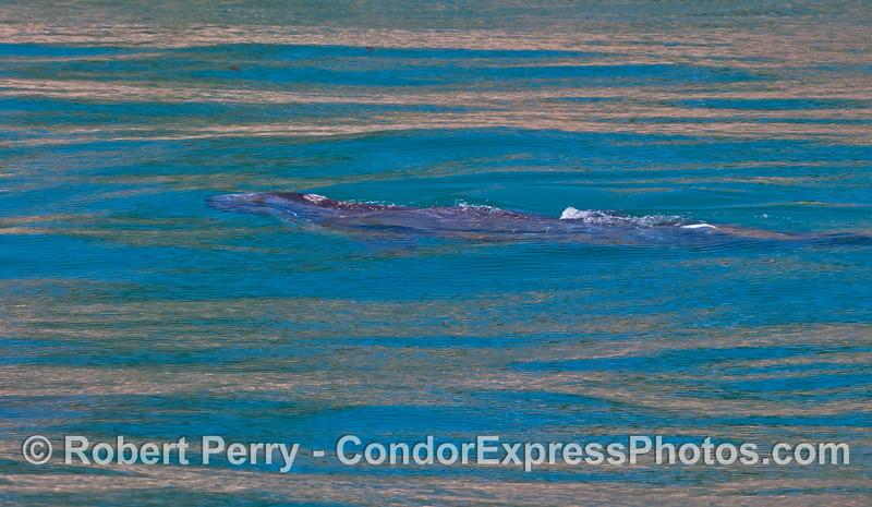 Eschrichtius robustus calf UW 2012 04-15 SB Channel-d-141