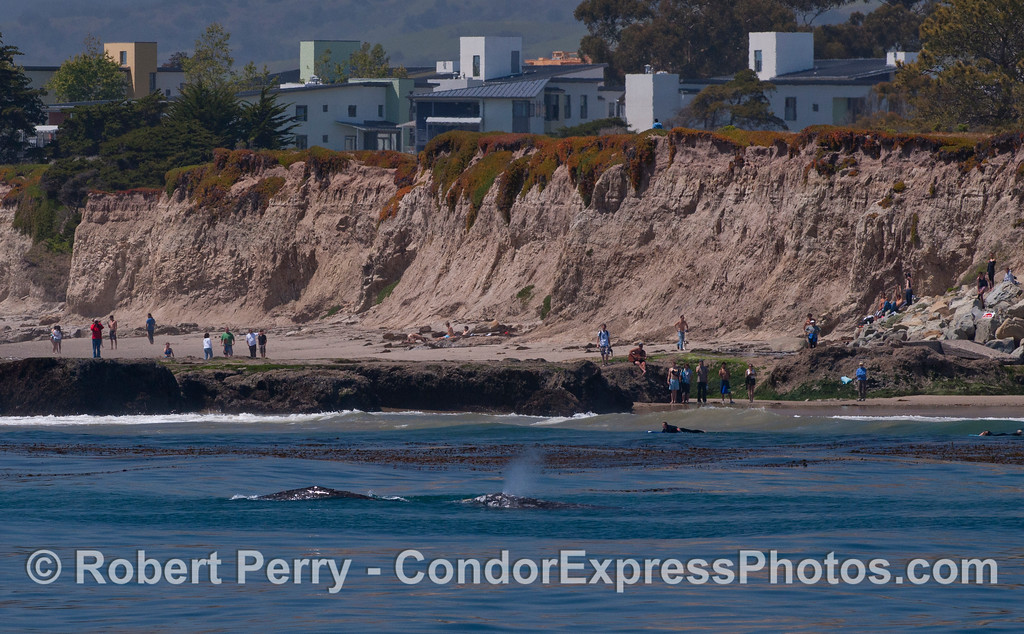 Eschrichtius robustus cow & calf near beach lots of people 2012 04-15 SB Channel-d-434