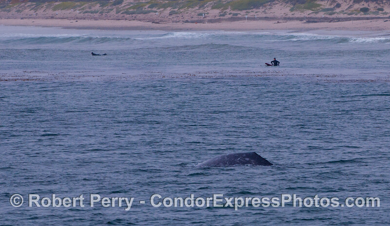 "Surfers at ""Sands"" Beach get a great look at a Gray Whale."