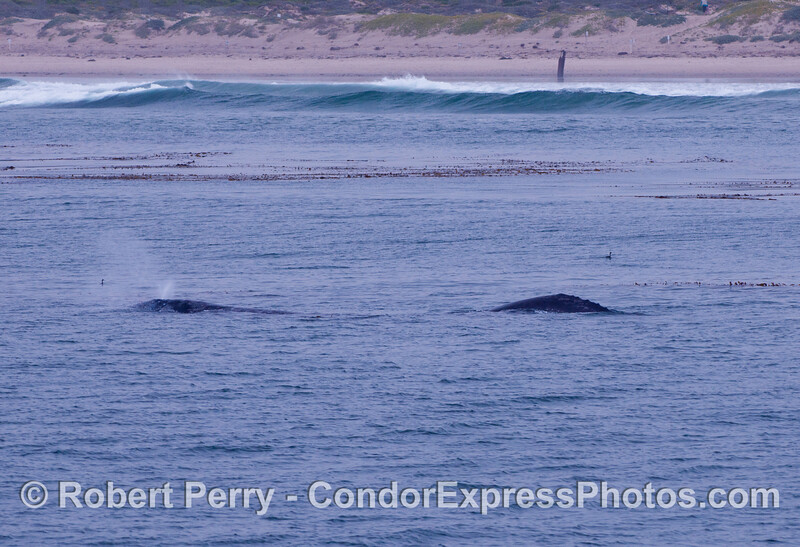 Two whales near the surf zone.