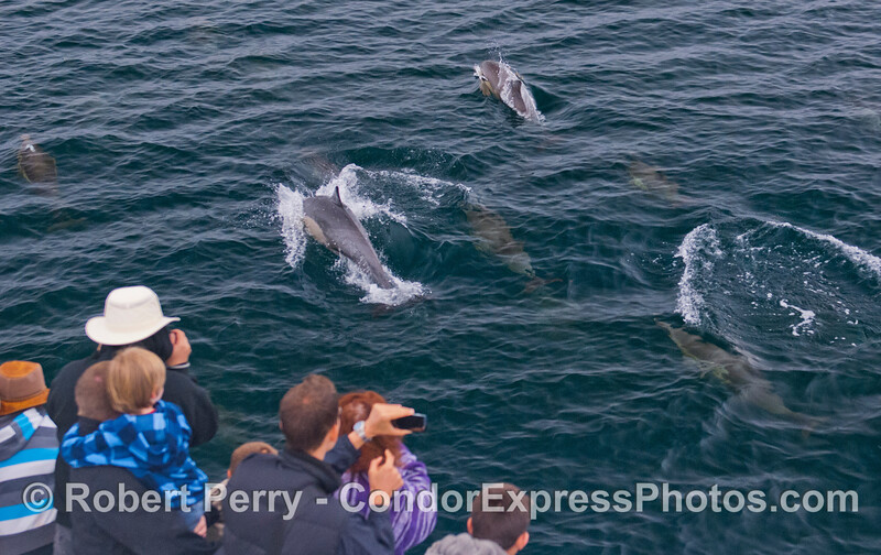 Passengers on the Condor Express enjoy a close encounter with Long-Beaked Common Dolphins (<em>Delphinus capensis</em>).