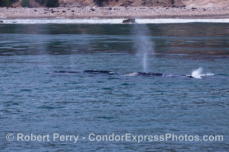 Four Gray Whales very close to the beach.