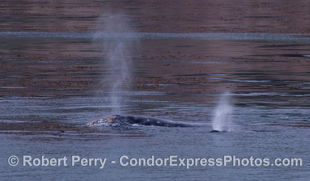 Mother and her calf, spouting.