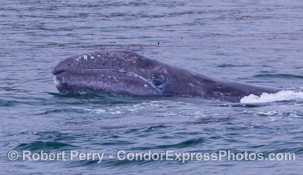 Image 2 of 2:  A 4-month old Gray Whale lifts its eye out of the water to take a look at the Condor Express people.