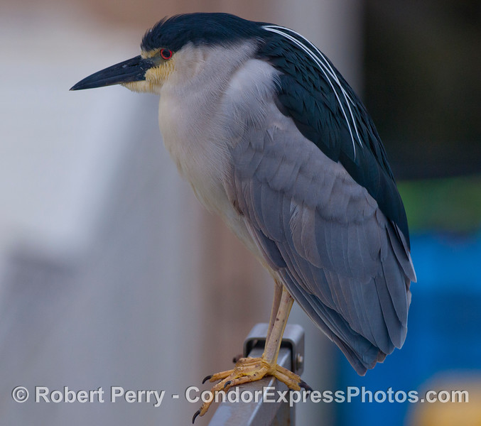 A Black-crowned Night Heron (<em>Nycticorax nycticorax</em>).