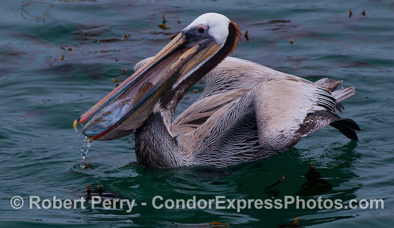 A rockfish (<em>Sebastes</em> sp.) head is seen in the mouth of a Brown Pelican (<em>Pelecanus occidentalis</em>).