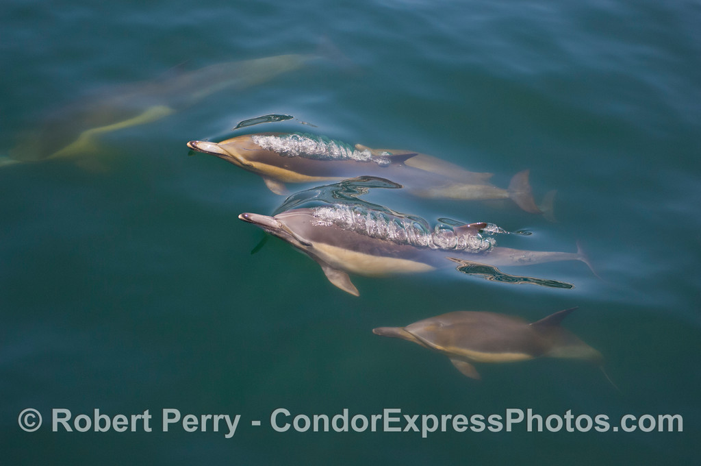 Delphinus capensis 2012 04-29 SB Channel-a-005
