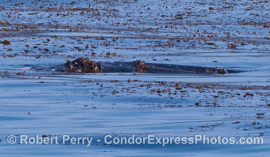 Eschrichtius robustus cow-calf in Macrocystis bed 2012 04-29 SB Channel-010
