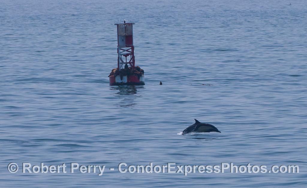 Delphinus capensis & Zalophus on buoy 2012 04-29 SB Channel-001