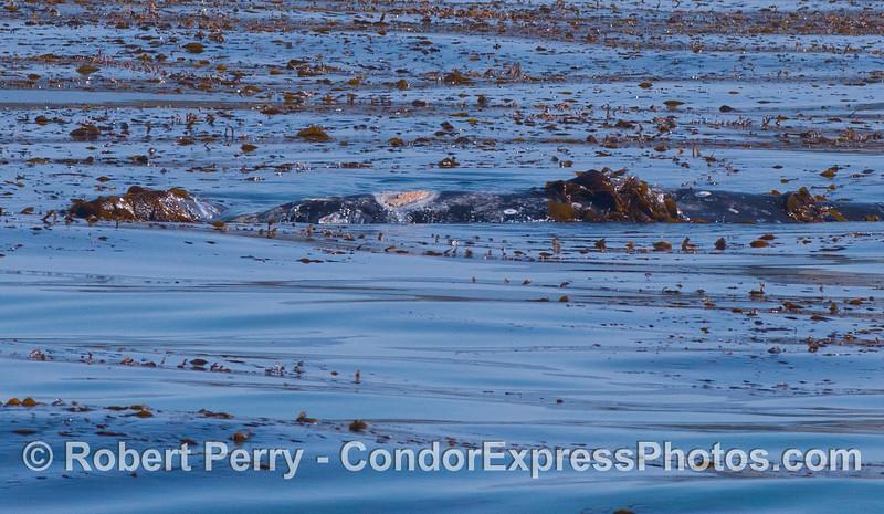 Eschrichtius robustus cow-calf in Macrocystis bed 2012 04-29 SB Channel-013