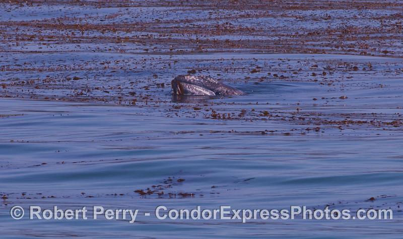 Eschrichtius robustus cow-calf in Macrocystis bed 2012 04-29 SB Channel-007