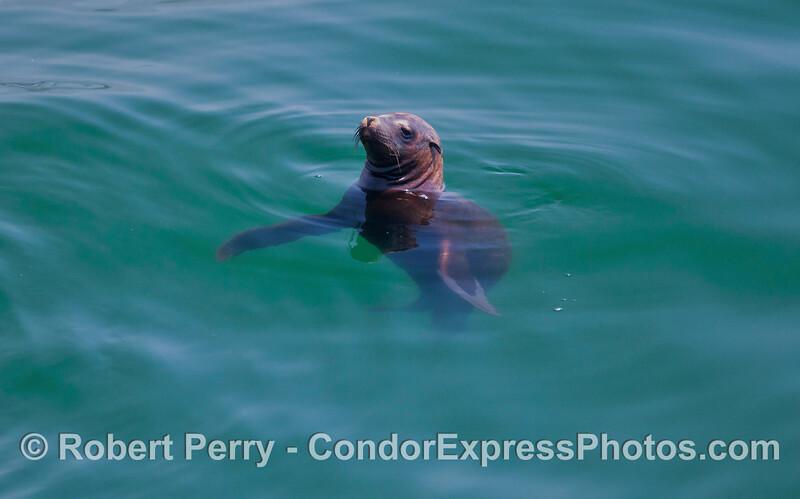 Zalophus californianus in water 2012 04-29 SB Channel-011