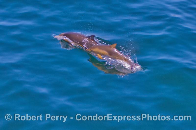 Delphinus capensis cow-calf 2012 04-29 SB Channel-a-016