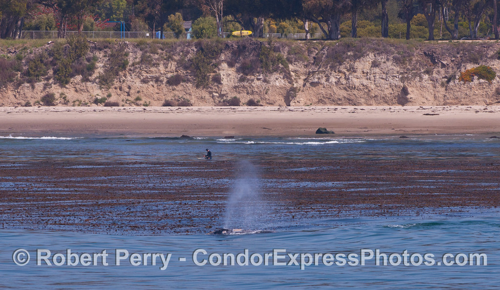 Eschrichtius robustus cow-calf & Macrocystis & Surfers 2012 04-29 SB Channel-290