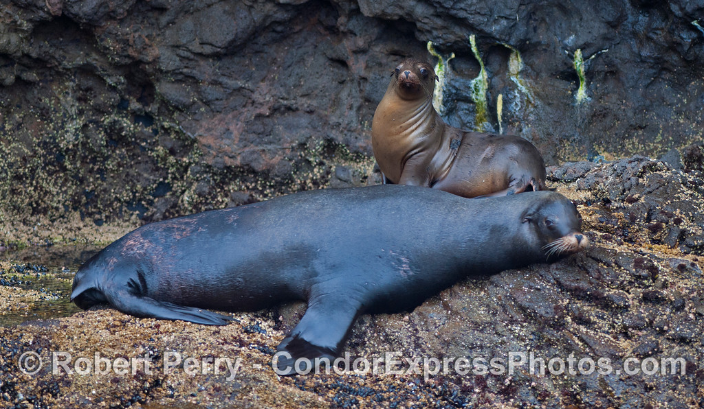 A male and a female California Sea Lion (<em>Zalophus californianus</em>) hauled out on the rocks in the entrance to the Painted Cave, Santa Cruz Island.